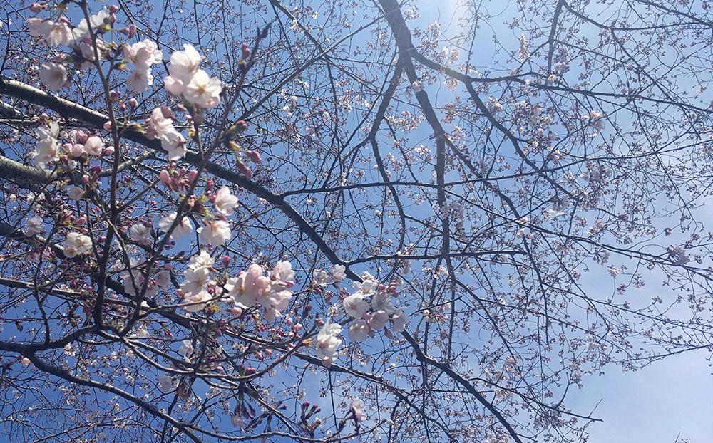 写真:2017年4月お花見