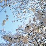 [1週間献立]満開の桜と、春色のにんじんポタージュ 2018年3月23日~29日のおうちごはん