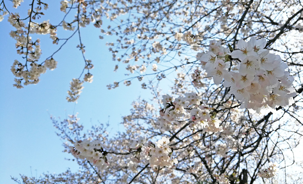 写真:満開の桜