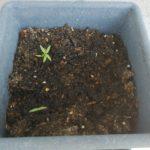 家庭菜園(6日目)ミニトマトの芽が出ました!
